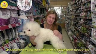 Домашний уход за собакой с кудрявой шерстью