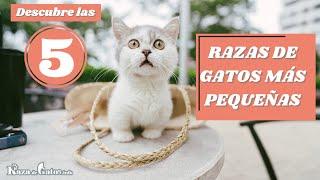 Los 5 Gatos Más Pequeños del Mundo