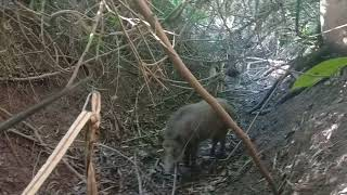 Chó săn heo rừng