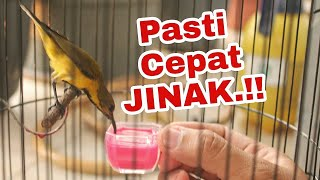 Download lagu Cara Menjinakan Segala Jenis Burung KOLIBRI Tangkapan Alam LIAR..!!!