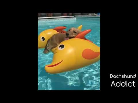 Funny Dachshund Video Compilation 2020