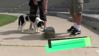 Train Your Dog To Be Calm Around Skateboards: Clicker Training Puppies