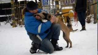 Подготовка собак по защите