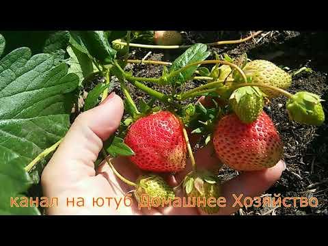 Земляника в СИБИРИ//МОЛЛИНГ СТОЛЕТИЕ