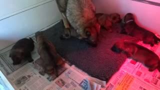 The Devon & Cornwall Police C Litter (rubies Puppies)
