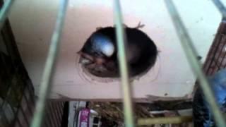 Anne babası yavru muhabbet kuşunu beslerken