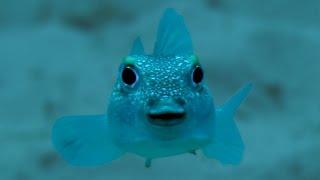 The Japanese Puffer Fish' Amazing Mating Ritual