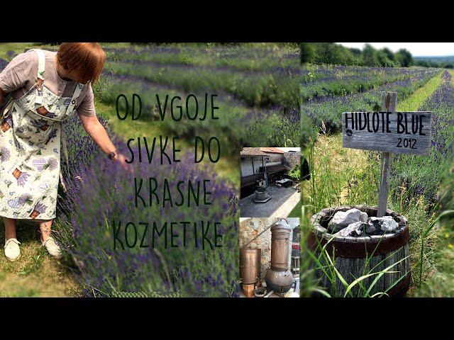 Kako pridelujejo sivko v Ivanjem Gradu, na Krasu  Tatjana Arandjelović | Kozmetika KRASNA