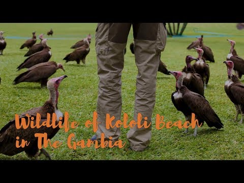Travel Guide: The Wildlife of Kololi Beach in The Gambia