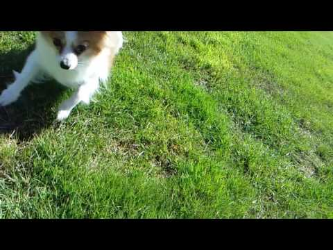Papillon in Slow Motion