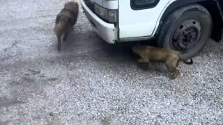 Собаки крысоловы