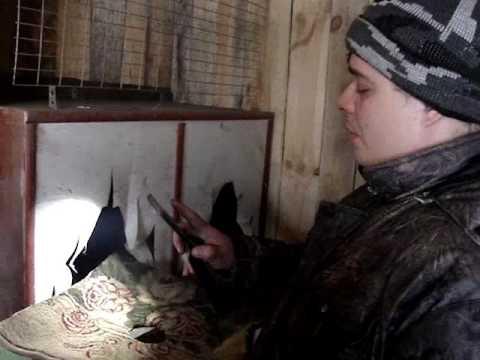 Барвистая Борковская порода кур: описание, фото