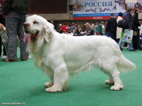 Порода собак. Кламбер спаниель. Прекрасная,сильная и любящая собака с короткими ногами. Красивый пес