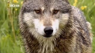 Дикая природа. Волки. Животные людоеды.