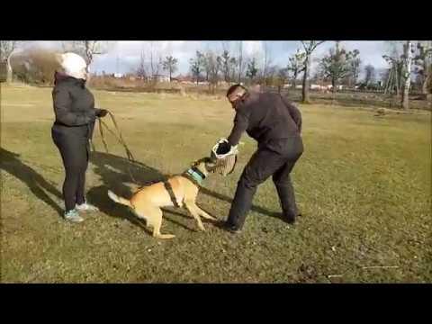 belgian malinois Spirit Marshall Dogs 1 y/o IGP protection training