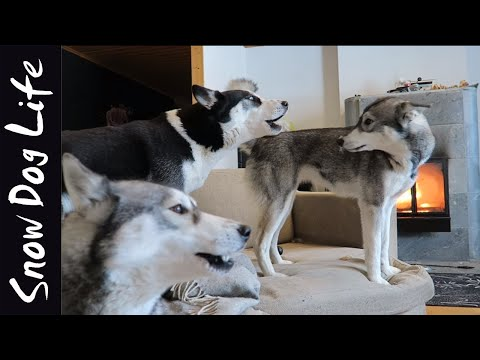 Owning a Siberian Husky (or 3½)
