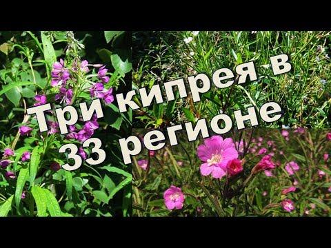 Три вида кипрея 🌺 (Иван-чай), Владимирская область. (Russian tea).