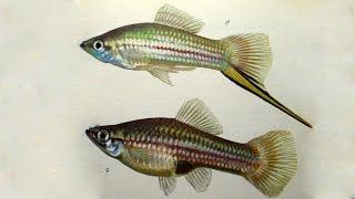 Меченосец (Xiphophorus helleri) - Аквариумные тропические рыбы # 16