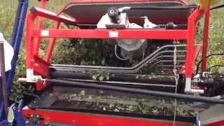 Aronia harvesting