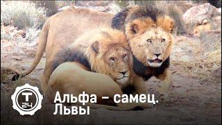 Альфа – самец. Львы | Т24