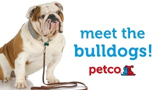 English Bulldog Breed (petco)