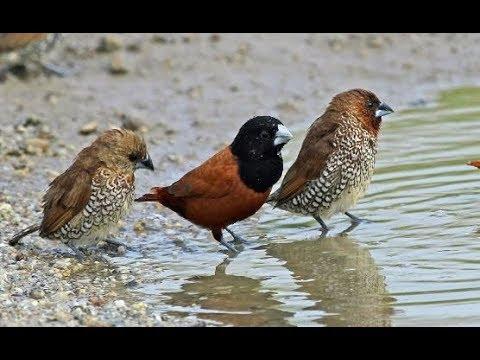 Burung Emprit Peking Pipit Peking Berebut Mandi Di Sungai