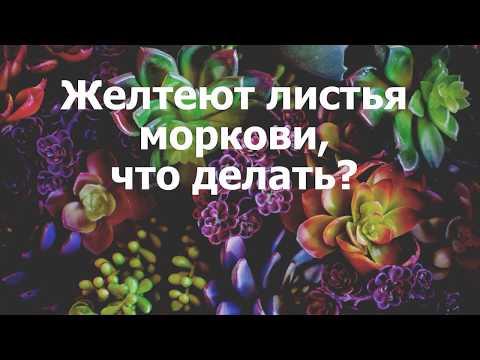 Вопрос: Почему краснеет ботва моркови – это болезнь или вредитель Что делать?