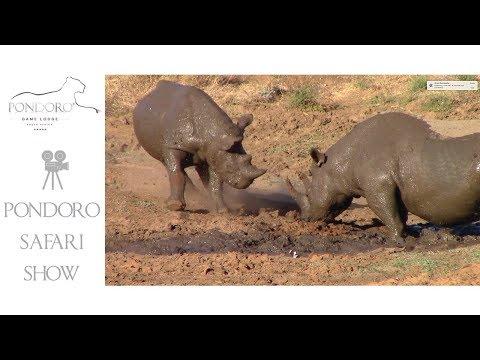 Black rhinos mudwallow