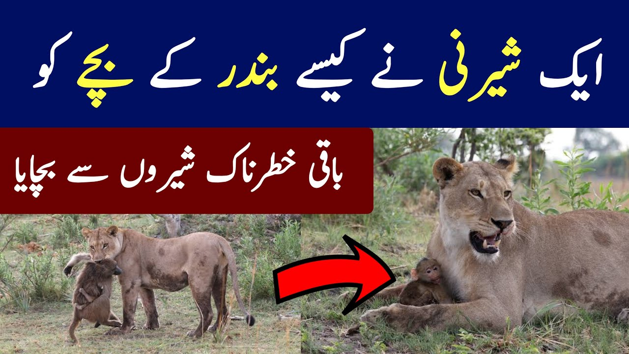 A Baboon Saved By a Lioness Full Video | Emotional Reader