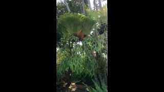 Platycerium coronarium - Staghorn fern - Elkhorn