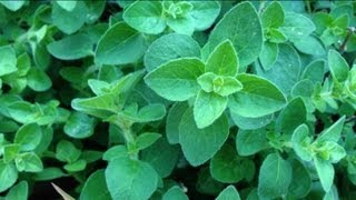 How to Grow Oregano - Pruning