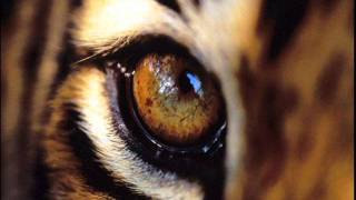 The Eye Of The Tiger - Original