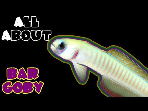 All About The Bar Goby Or Zebra Barred Dartfish