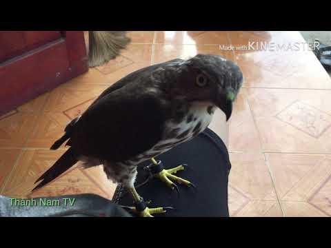 Chim săn mồi /shika bổi 5 ngày qua tay| practice bird hunting through your hands