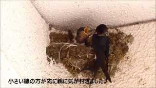 神奈川県平塚市内です。 卵を温めているときから片親でした。この親は尾...