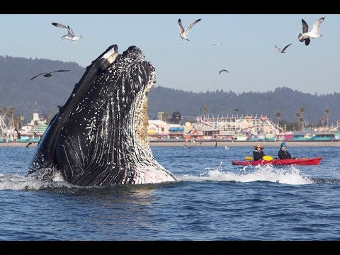 7 Incredible Humpback Whale Moments Captured on Video