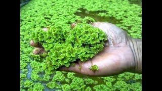 Azolla Cultivation Demo