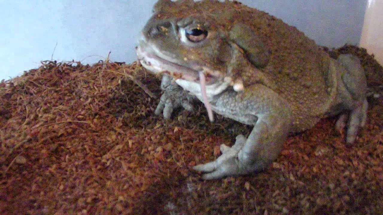 how to keep bufo toads away