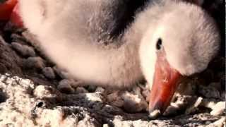 Flamingo hatching and Feeding