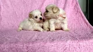 関西マルチーズ子犬販売ページ→ http://www.at-breeder.net/maltese/kan...