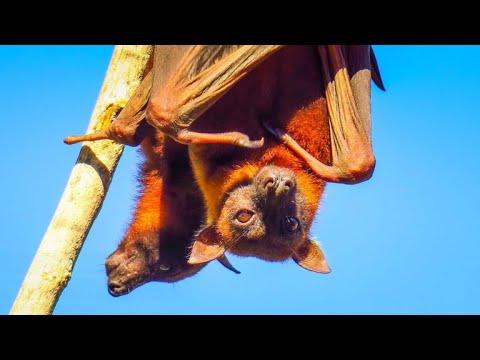 Bats are frying to death in Australian heat wave