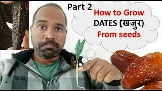 How to Grow Dates Palm from seeds setp by step Part 2, one month overview खजुर के बिज से पौधा उगाए