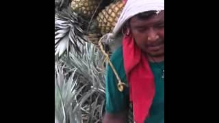 La perla de la  piña isla veracruz