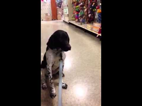 Five month old German shorthair pointer yoga meets kids out