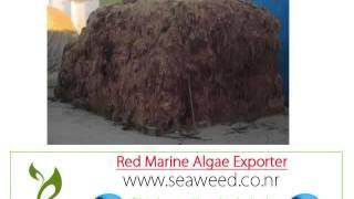 марокканский Алгаэ  импортер Экспортер оптовые поставщики