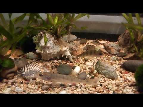 Судак ест малька в аквариуме