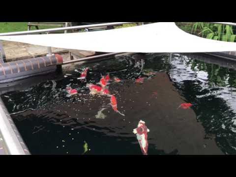 Koi pond in Knutsford