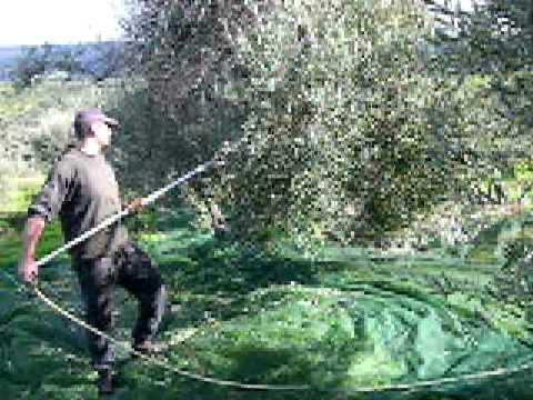 Bildergebnis für Olivenernte in Kreta
