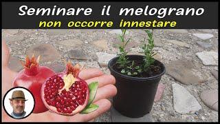 Download lagu RIPRODURRE IL MELOGRANO DAL SEME, como sembrar granada semilla