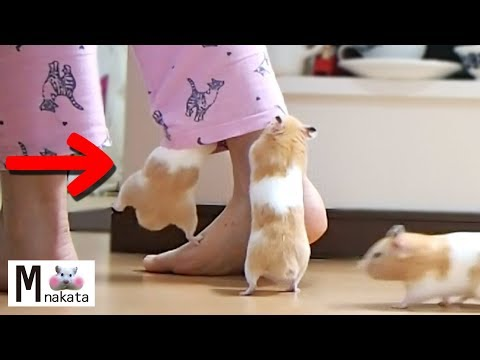 a-hamster-raging-hard-into-the-clothes.owner-panicked!【funny-&-cute-hamster-make-your-feel-at-ease】